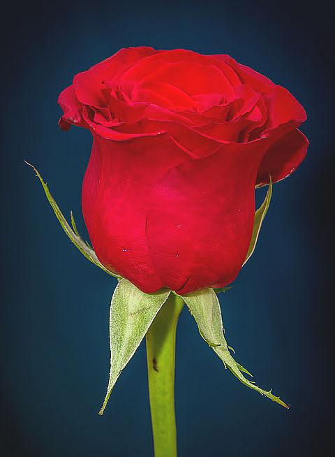 post-Rose-image-2